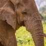 Slickforce-Kenya-african-elephant-close-up-eyes-trunk-texture-ears-old-beautiful-nick-saglimbeni-7826