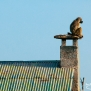 Slickforce-Kenya-baboon-sitting-roof-sunset-thinking-nick-saglimbeni-7764