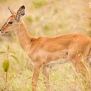 Slickforce-Kenya-baby-impala-eyes-nick-saglimbeni7488