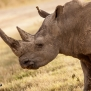 Slickforce-Kenya-black-rhino-lake-nakuru-africa-nick-saglimbeni-7582