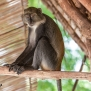 Slickforce-Kenya-colobus-money-climbing-house-hut-diani-beach-nick-saglimbeni-7561