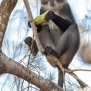 Slickforce-Kenya-colobus-monkey-eating-passion-fruit-tree-africa-diani-beach-nick-saglimbeni-7567
