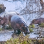Slickforce-Kenya-hippo-hippopotamus-family-playing-crescent-island-africa-nick-saglimbeni-7471