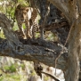 Slickforce-Kenya-leopard-spots-in-tree-african-safari-nick-saglimbeni-8013