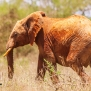 Slickforce-Kenya-red-tsavo-east-west-elephants-africa-mud-nick-saglimbeni-7944