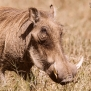 Slickforce-Kenya-warthog-closeup-horns-hairy-nick-saglimbeni-7434