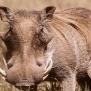 Slickforce-Kenya-warthog-closeup-looking-camera-hairy-horns-nick-saglimbeni-7433