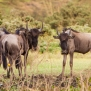 Slickforce-Kenya-wildebeast-family-herd-africa-nick-saglimbeni-1276
