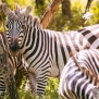 Slickforce-Kenya-zebra-family-herd-crescent-island-nick-saglimbeni-7437