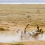 Slickforce-Kenya-zebra-rolling-ground-playing-upside-down-dust-nick-saglimbeni-1657