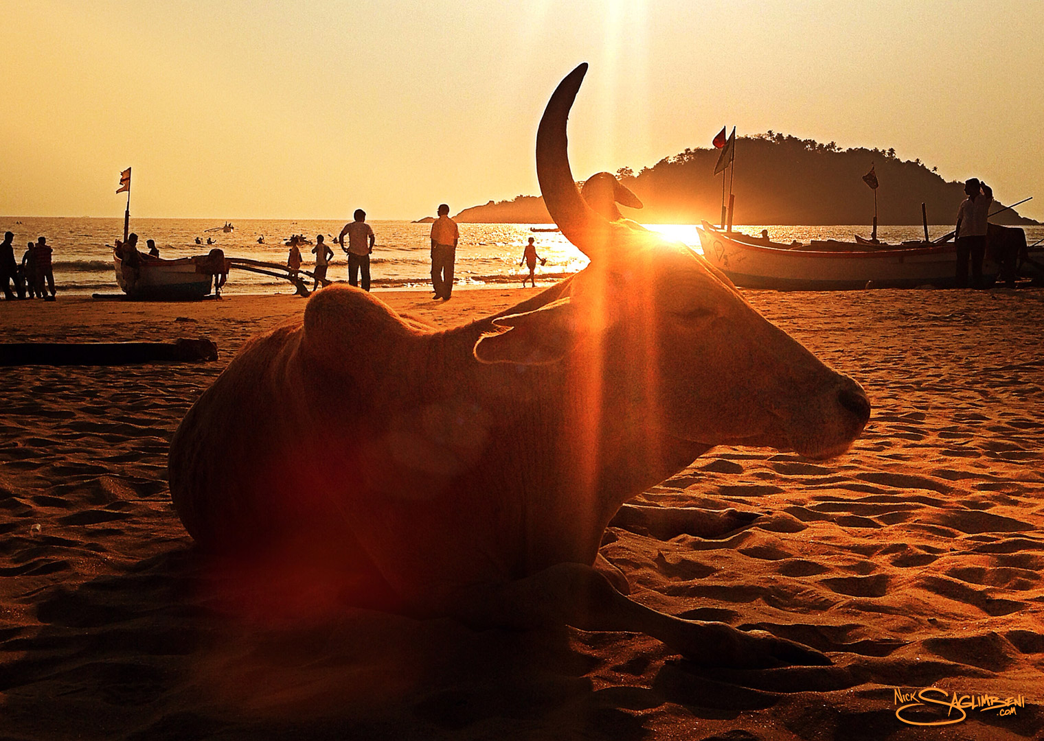 india-goa-sacred-cow-beach-palolem-nick-saglimbeni