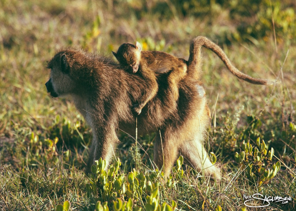 Slickforce-Kenya-baboon-baby-climb-carry-back-mother-father-child-nick-saglimbeni-africa-7767