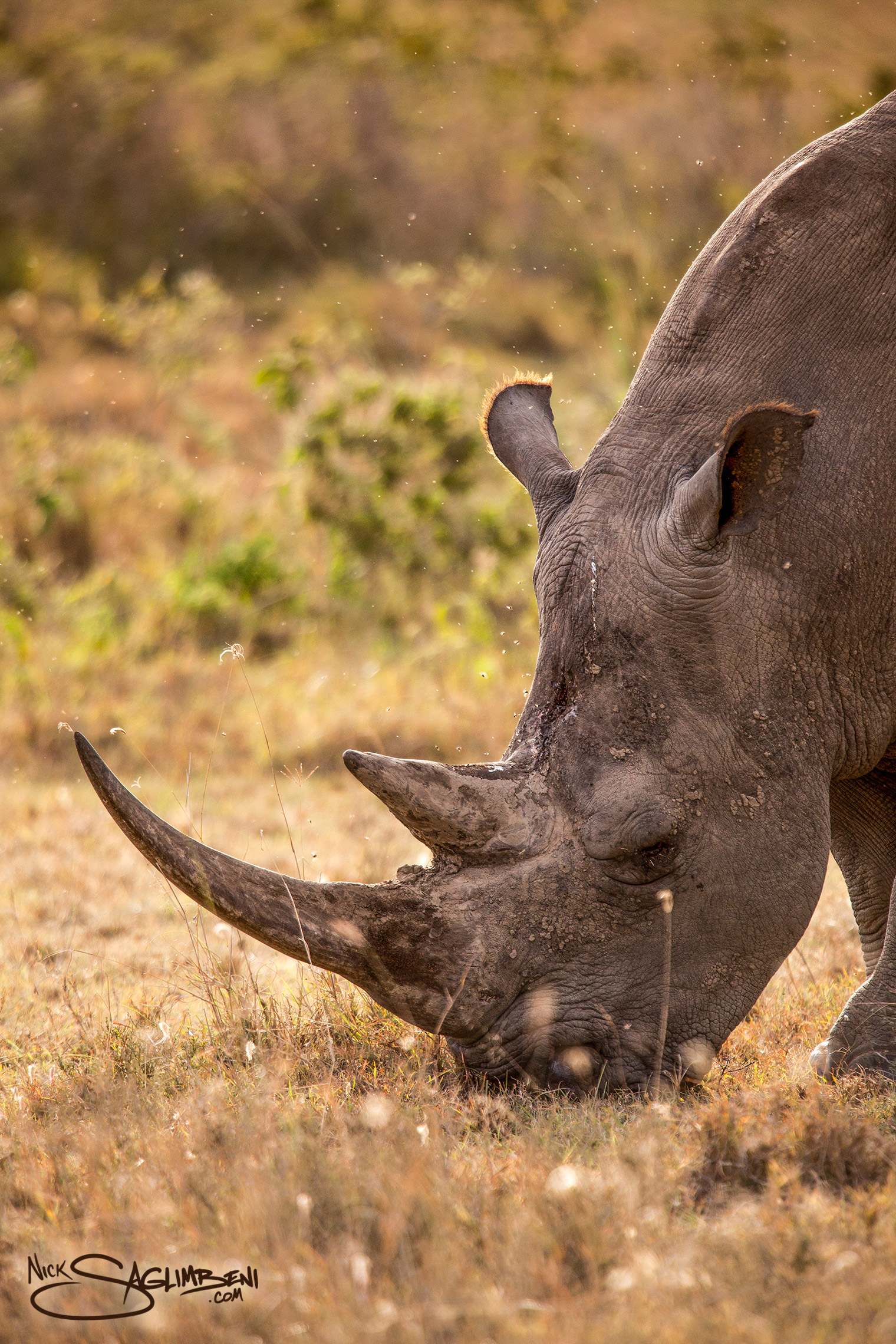 Slickforce-Kenya-black-white-rhino-eating-grass-lake-nakuru-horns-nick-saglimbeni-7559