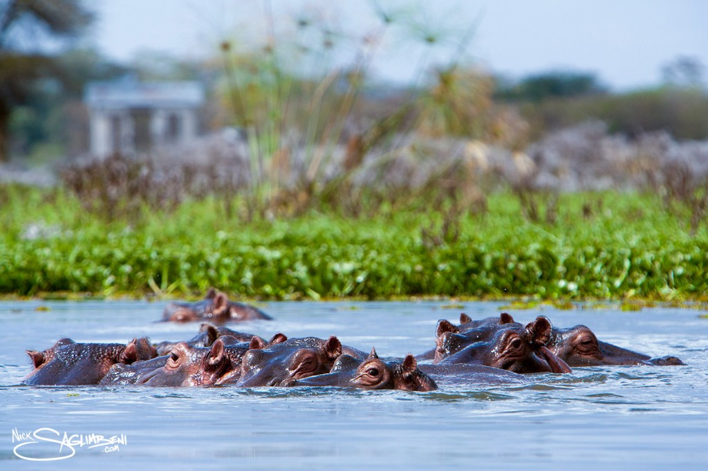 Slickforce-Kenya-hippo-hippopotamus-family-submerged-looking-camera-crescent-island-africa-nick-saglimbeni-1188