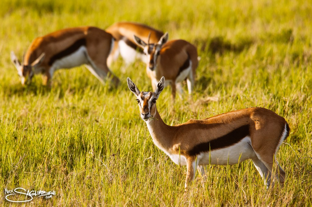 Slickforce-Kenya-impala-baby-eating-grass-family-safari-nick-saglimbeni-7772